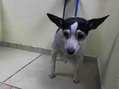 TO BE DESTROYED - SUNDAY - 5/4/14, Brooklyn Center   REGAN -A0998029  MALE, WHITE / BLACK, CHIHUAHUA SH MIX, 8 yrs STRAY - EVALUATE, NO HOLD Reason STRAY  Intake condition NONE Intake Date 04/28/2014, From NY 11201, DueOut Date 05/01/2014.  https://www.facebook.com/photo.php?fbid=794584263887788&set=a.617942388218644.1073741870.152876678058553&type=3&theater