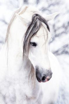 "Grey KWPN ""Koninklijk Warmbloed Paard Nederland"" Horse"