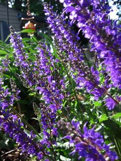 CATMINT is similar to catnip except it is much more bright and floral, and it does not attract cats, BUT IT DOES DETER APHIDS  AND JAPANESE BEETLES.