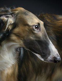 Portrait of borzoi. #dogs #borzoi #Russian