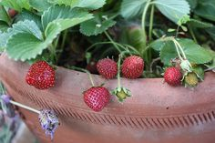 By Amy Grant Strawberry plants indoors? You betcha! In fact, growing strawberries indoors may even be an easier option for some people. Growing strawberries indoors allows you to control such factors as light, temperature and ousts all those pesky outdoor critters whose sole aim is to keep you from your strawberry shortcake. Keep reading for…
