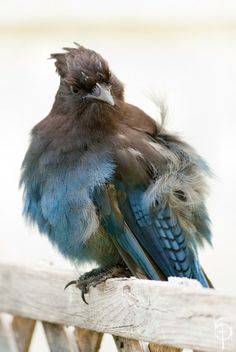 Steller's Jay. Photo by schochin