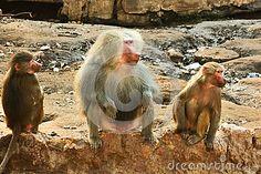 Baboon Monkey chilling in the zoo http://www.dreamstime.com/baboon-monkey-chilling-zoo-image44807293