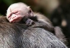 Baby Capuchin Monkey!!  My Heart Melted!!