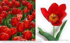 Los tulipanes pueden llegar a aparecer dos flores diferentes según lo abiertos que estén