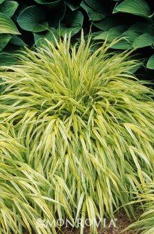 Japanese flower grass photo