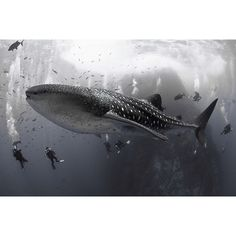 """Divers gather around a whale shark in the Socorro Islands, Mexico. Photo by David Valencia"