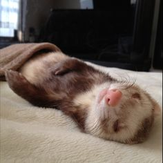 #ferret Wolfys Wondifferous World of Weasels...Ferrets, that is!!...Deaf Ferrets