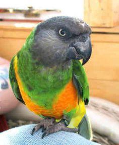 Senegal Parrots, i want this bird