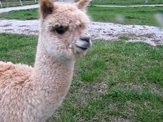 Oh my goodness... this cria is ADORABLE... HEART MELT!