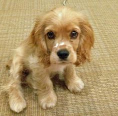 Pico the Cocker Spaniel Pictures 986275 - repinned as he is just so cute! Xx