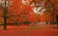 maple tree - Google Search