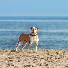 WEBSTA @ insomnia_maja - W marzeniach jestem na plazy, w rzeczywistosci ide do pracy zarabiac na marzenia ☺️😂 Dzien dobry poniedzialku ☕️💪🏼#connex_star #costabrava #continentalbulldog #flatnosedogsociety #bullyofinstagram #buldoglife #dogsofinstagram #instadog #gutenmorgen #igbulldogs_germany #igbulldogs_worldwide #excellent_dogs