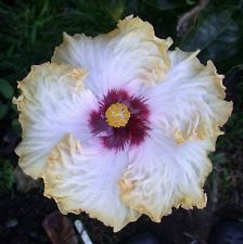 Tropical Hibiscus Seed: T Dsrt Sn x RR