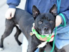 SAFE by Long Island Pit Stop (LIPS) 01/17/15 --- TO BE DESTROYED - 12/21/14 Brooklyn Center -P **  My name is SHADOW. My Animal ID # is A1022673. I am a male black and white labrador retr and am pit bull ter mix. The shelter thinks I am about 7 YEARS old.  I came in the shelter as a OWNER SUR on 12/08/2014 from NY 11211, owner surrender reason stated was MOVE2NYCHA.   https://www.facebook.com/photo.php?fbid=925391070807106