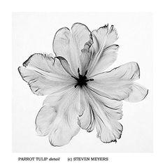 Parrot Tulip, detail, x-ray - Steven Meyers - beautiful