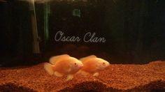 Lemon Oscar, Oscar Clan, Oscar Fish,