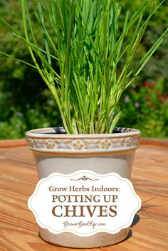 Grow chives all year even when the garden is under snow. See how to divide and pot up chive plants to grow indoors.  Enjoy fresh chives all winter.