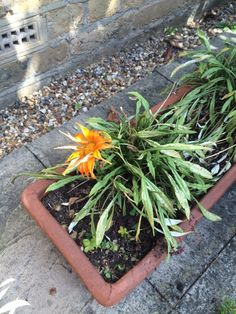 Gazania Hybrid (gazania): Your plant appears to be one of many gazania hybrids. It is  prized for its colorful display of daisy-like flowers. Flowers are single-colored or bi-colored in late spring-early summer from gray-green or green foliage. Does best in full sun and moderate to regular water.