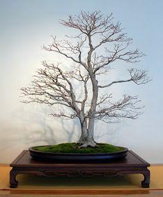 national bonsai foundation | NOSTROMO BONSAI: NATIONAL BONSAI FOUNDATION