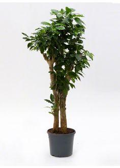 XXLCoffea arabica, grote kamerplant, geeft na vier jaar vruchten