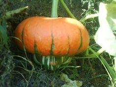 ΟΙΚΟΓΕΝΕΙΑ ΟΡΘΟΔΟΞΩΝ ΧΡΙΣΤΙΑΝΩΝ : ΣΠΟΡΟΙ ΑΠΟ ΠΑΛΙΕΣ ΠΑΡΑΔΟΣΙΑΚΕΣ ΠΟΙΚΙΛΙΕΣ ΛΑΧΑΝΙΚΩΝ !! (1) Pumpkin, Vegetables, Gardening, Pumpkins, Lawn And Garden, Vegetable Recipes, Squash, Veggies, Horticulture