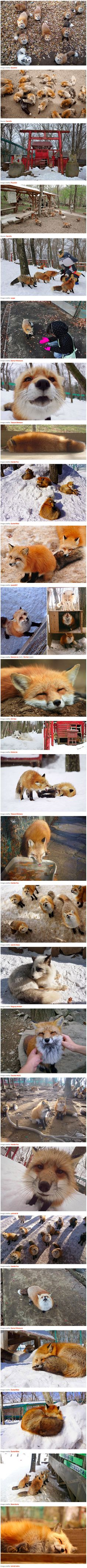 We've heard about the bunny island and cat island, but there's also a fox village, where six different species of fox romp and play together in a battle for your attention (and probably for your food, too). This magical oasis of foxiness is called Zao Fox Village, and it's located in Japan's Miyagi prefecture. For 100 yen (or about 85 US cents), visitors are provided with food, but because the foxes are not domesticated, they are cautioned against hand-feeding them or bringing small…