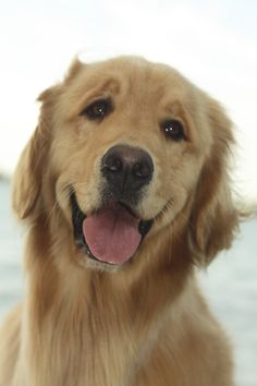 Happy and loving is a Golden <3