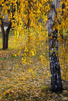 * Autumn birch leaves [photographer and location unknown] 🍂 Autumn Nature, Autumn Leaves, Pretty Pictures, Cool Photos, Background Images Hd, Autumn Aesthetic, Autumn Photography, Hello Autumn, Mellow Yellow