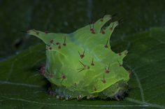 Lagarta (Classe Insecta, Ordem Lepidoptera, Familia Limacodidae) 3 | by Enio Branco