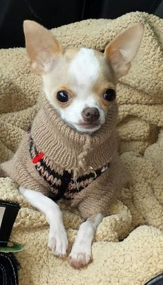 Staying warm Chihuahua Puppy Dog Puppies Hound Dogs