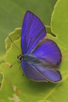 ciliate blue (Anthen emolus goberus)