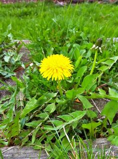 Why dandelions are good for you, and how to incorporate them into your diet (with recipes)!