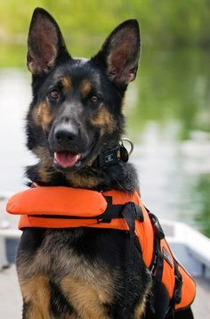 Search and Rescue Dog whay a handsome guy u r