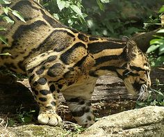 Clouded Leopard, incredible