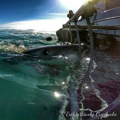 It's definitely been a good day for our white shark conservation volunteers when they get this close to white sharks.