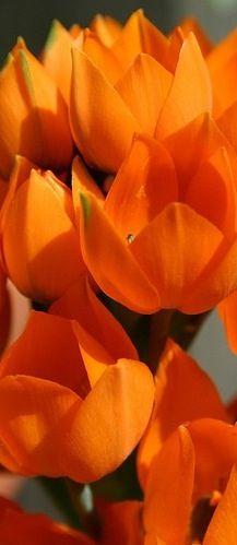 //Clemson~ Orange tulips