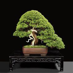Suthin Bonsai Studio Shimpaku Juniper. High Quality Bonsai Trees since 1970.