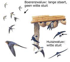 De Natuurkalender Steam Education, All Nature, Swallows, Birdwatching, Green Grass, Beautiful Birds, Wildlife, College, Hacks