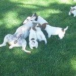 Dog pile daddy