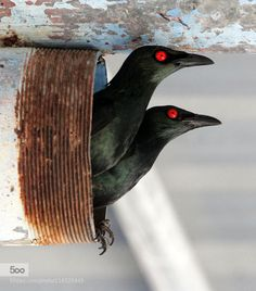Asian glossy starling - Pinned by Mak Khalaf Asian glossy starling - Lanta Island - Krabi Thailand Animals Animal PhotographAnimal PicsBird PicsWildlife PhotographWildlife Picsanimalanimal imagesanimal photographyanimalsbeautifulbirdbird picturesbirdsblackclose-upcloseupeyesislandnaturenature imagesnature photographnature photographynature picsredthailandwildlifewildlife photographerwildlife photography by somsmith