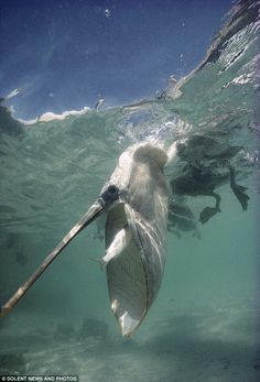 Pelican vs Fish... Pelican Wins!      by photographer Tui de Roy, shot in the Galapagos Islands