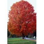 A chart about different types of maple trees.
