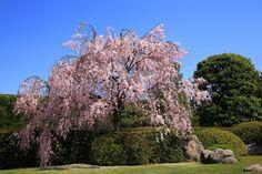 高画質 写真 城南宮 しだれ桜