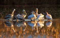 Pelecanus onocrotalus  Animals photo by ElizabethE http://rarme.com/?F9gZi