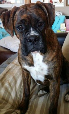 All About Boxer Dog Training Hand Signals Source by The post Boxer Dog Facts Truths appeared first on Sellers Canines. Boxer Dog Facts Truths& The post Boxer Dog Facts Truths appeared first on Coulson Puppies. Boxer Dogs Facts, Dog Facts, Boxer Breeders, I Love Dogs, Cute Dogs, Adorable Puppies, Boxer Dog Puppy, Brindle Boxer Dogs, Bullen