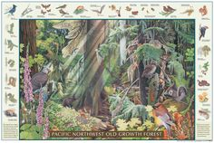 Pacific Northwest Old Growth forest poster field guide from Good Nature Publishing.  Painted by Suzanne Duranceau.  Beautiful and educational.   © Good Nature Publishing 2015 goodnaturepublishing.com