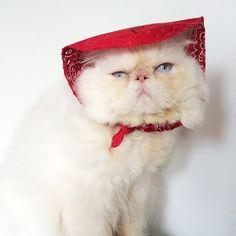 Atencioso  #LordAries #AriesMeow #WeeklyFluff #CatsOfInstagram