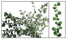Tsaang gubat / CHA / TSA / Ehretia microphylla, wild tea: Philippine Herbal Medicinal Plants = StuartXchange Herbal Plants, Medicinal Plants, Herbal Medicine, Herbal Remedies, Philippines, Herbalism, Outdoor Structures, Mystery, Tea