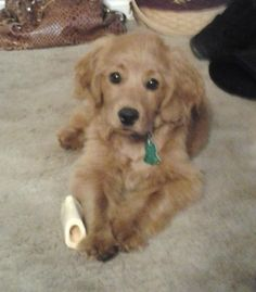 I want one of these! Golden/cocker spaniel mix!